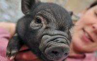 Els Porcs Vietnamites, entre les noves espècies invasores