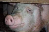 """Jornada al Col·legi sobre """"Sacrifici i matança de porcins, bovins i ovins a l'explotació: implicacions de benestar animal i d'higiene alimentària"""", el dia 1 de desembre"""