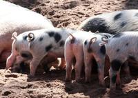 Jornada tècnica sobre el benestar animal en porcí, el 16 de juny a la seu del COVLL