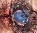 """Curs Online: """"Guía para entender y tratar con éxito las afecciones corneales en perros y gatos"""""""